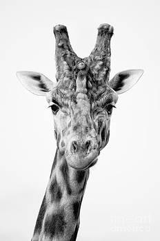 Handsome giraffe by Steev Stamford