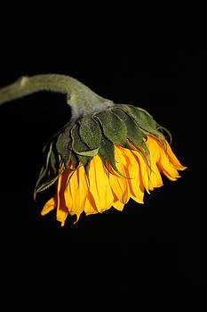 Hang low sunflower by Renee Braun