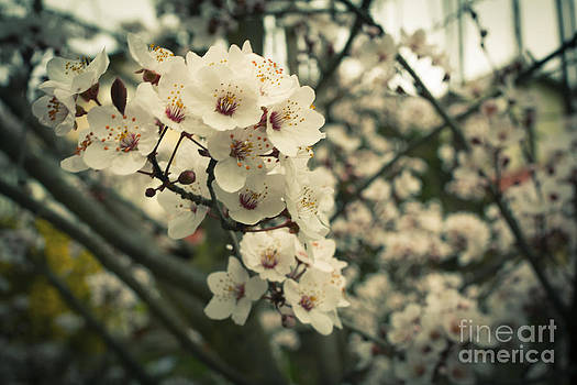 Hanns blossoms by Ivan Vasquez