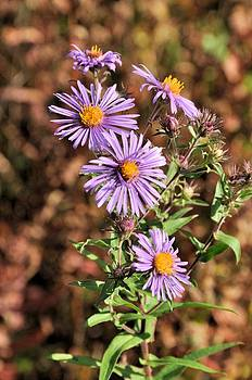 Valerie Kirkwood - Happy Asters