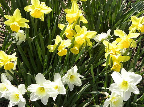 Happy Daffodils  by Cim Paddock