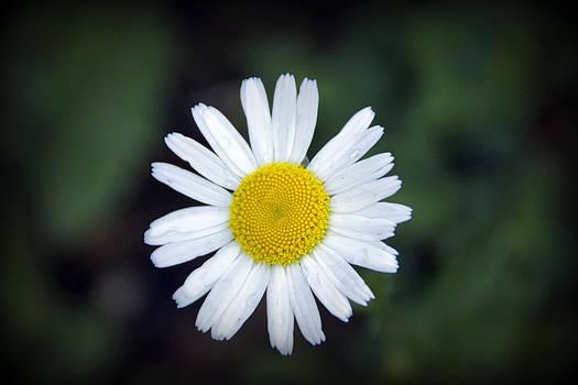 Happy Daisy  by Shayne Johnson Fleming