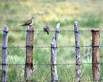 Happy Doves by Clarice  Lakota