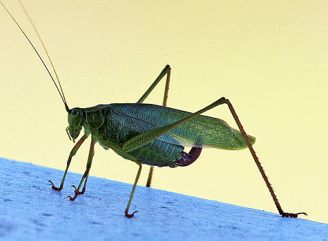 Happy Grasshopper by Dana Moos