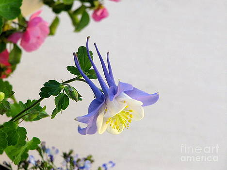 Happy little Columbine by Phyllis Kaltenbach