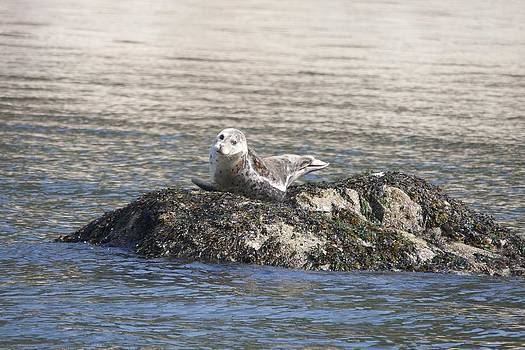 S and S Photo - Harbor Seal - 0002
