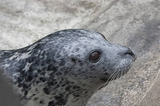 S and S Photo - Harbor Seal - 0022
