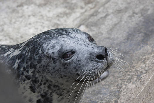 S and S Photo - Harbor Seal - 0023