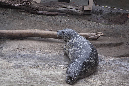 S and S Photo - Harbor Seal - 0025