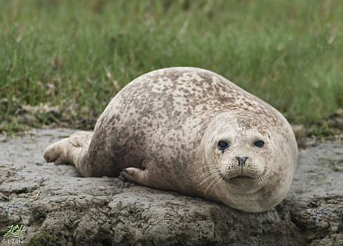 Harbor Seal by Kenneth Hadlock