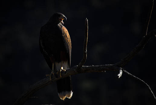 Harris Hawk Call by Swift Family