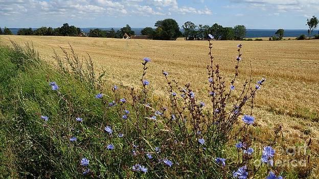 Harvest in Denmark by Susanne Baumann