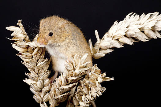 Harvest Mouse by Paula Connelly