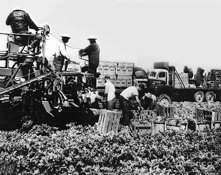 California Views Mr Pat Hathaway Archives - Harvesting Bud celery in the Salinas Valley California circa 1950