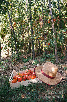 Harvesting tomatoes by Viktor Pravdica
