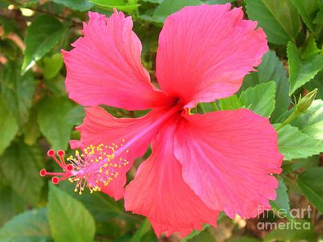 Hawaii Red Hibiscus by Crystal Miller