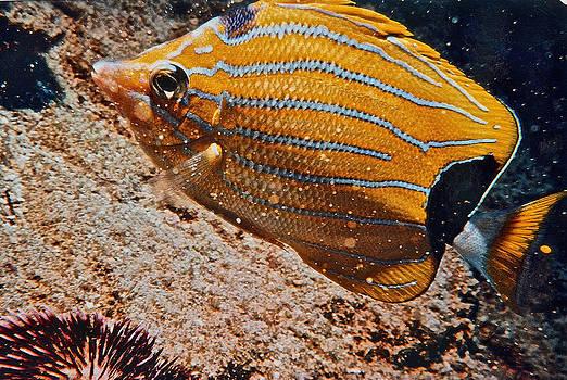 Bill Owen - Hawaiian Butterfly Fish