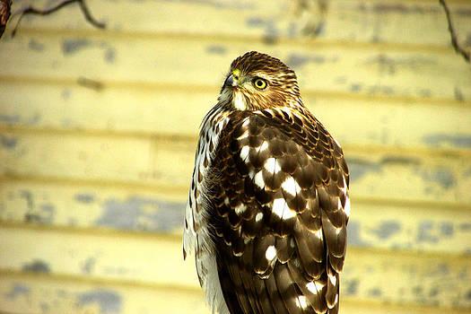 Hawk-eyed Beauty by Kimberly Mackowski
