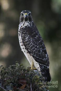 Hawk II by Lynn Jackson
