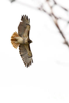 Hawk in flight by Jill Bell