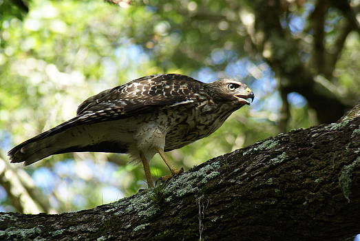Patricia Twardzik - Hawk in the Preserve