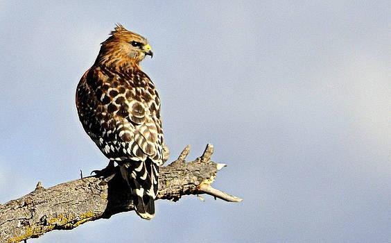 Hawk Looking Back by AJ  Schibig
