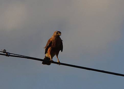 Billy  Griffis Jr - Hawk on A Wire