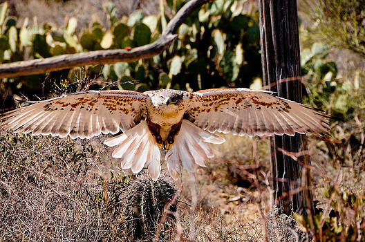 Hawk on the Hunt by Don and Bonnie Fink