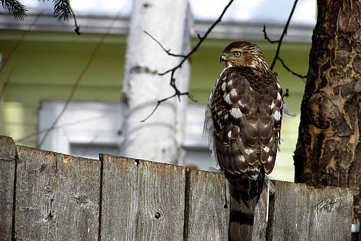 Hawk Perching by Kimberly Mackowski