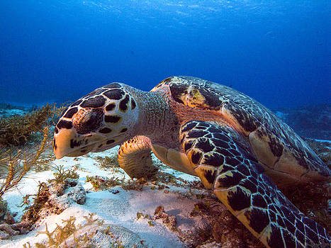 Matt Swinden - Hawksbill closeup