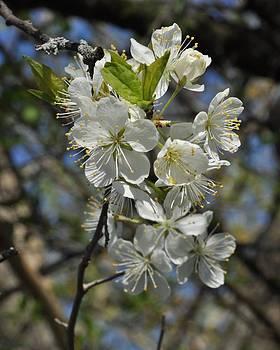 Valerie Kirkwood - Hawthorn Flowers