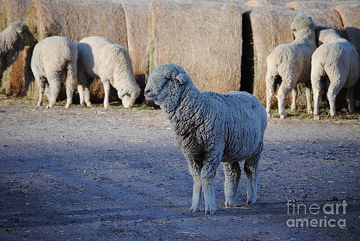 Hay There Behind Ewe by J Bern Hunt