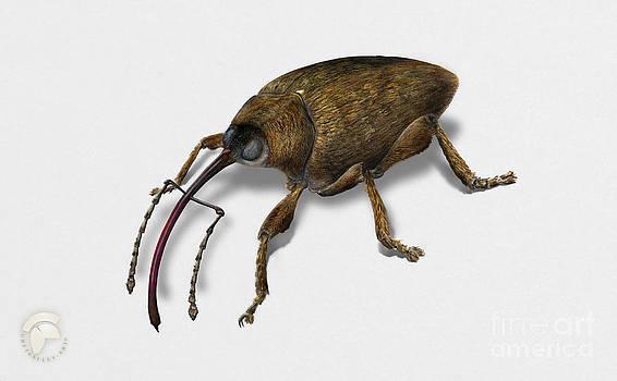 Hazelnut weevil Curculio nucum - Balanin des noisettes - Balanino della nocciola - Noeddesnudebille  by Urft Valley Art