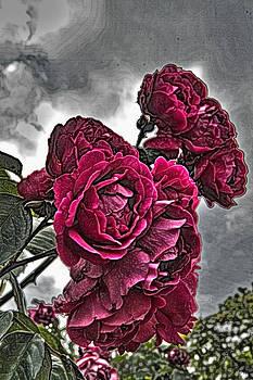 Tom Kelly - HDR Flowers
