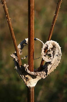Heart of Thorns by Stephani Vaughan