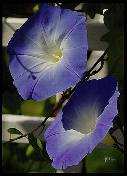 Heavenly Blue Morning Glory by James C Thomas