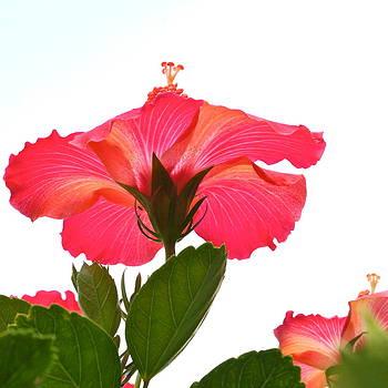 Byron Varvarigos - Heavenward Hibiscus