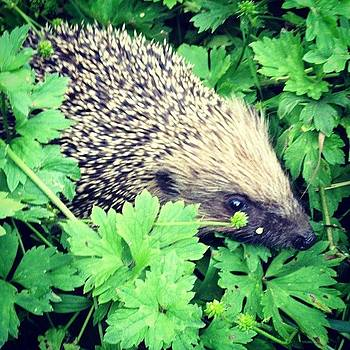 Hedge Hog by Alex Nagle