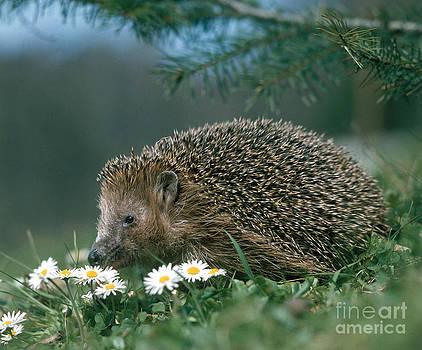 Hans Reinhard - Hedgehog With Flowers