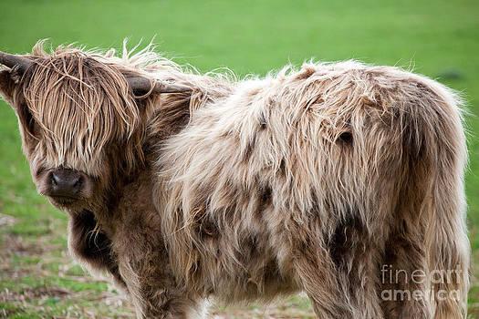 Heilan' Coo Portrait Scotland by Christy Woodrow