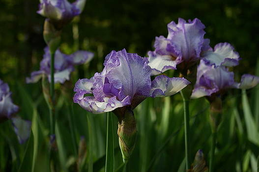Heirloom Iris by Elizabeth King