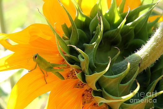 Helianthus annuus 3 by Elizabeth Matlock