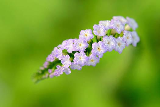 Heliotropium indicum L. by Jordan Lye