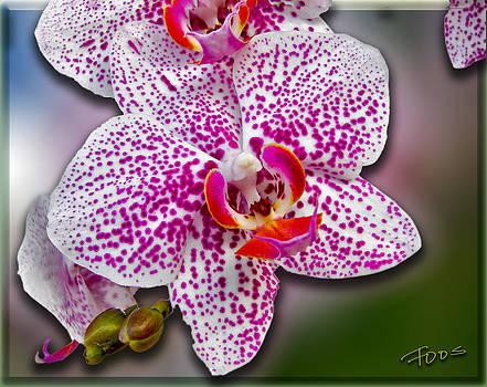 Roy Foos - Hello Orchid
