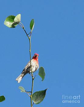 HELLO there Pretty Llittle Finch by Phyllis Kaltenbach