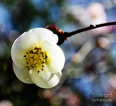 Hello World An Apple Blossom by Eva Thomas