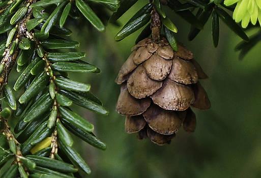 Dawn Hagar - Hemlock cone