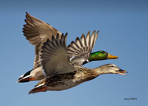 Hen and Drake Flying by Stephen  Johnson
