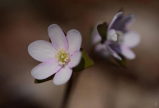Minartesia - Hepatica Beauty