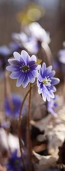 Minartesia - Hepatica Blues